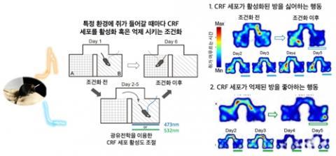 광유전학을 통한 시상하부 CRF 세포 활성도 인위적 조절 ⓒ KAIST
