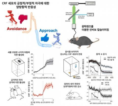 시상하부 CRF 세포의 양방향성의 활성도