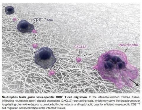 길 안내 받듯 따라가는 면역세포