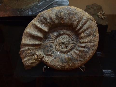 중생대의 표준화석인 암모나이트 ⓒ LMCoelho
