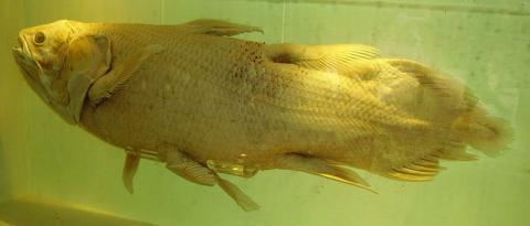 세계를 놀라게 한 화석물고기 실러캔스(런던박물관) ⓒ GNU Free