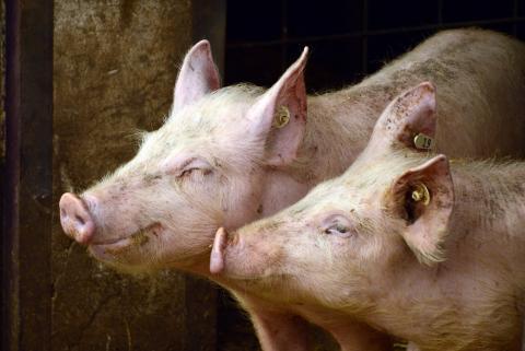 도축된 돼지의 뇌에 합성혈액을 공급해 생명의 징후를 찾아낸 연구가 발표돼 논란이 일고 있다.