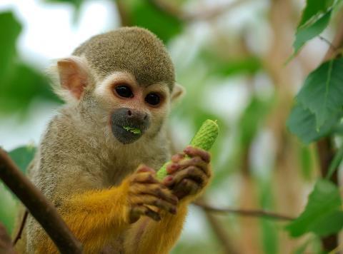 원숭이들의 시각세포는 정상적인 이미지보다 세상에 존재하지 않은 왜곡되고 추상적인 이미지에 대해 강한 반응을 보이고 있다는 사실이 최근 연구 결과 밝혀지고 있다. 사진은 중남미 아메리카에 서식하는 다람쥐 원숭이. ⓒWikipedia