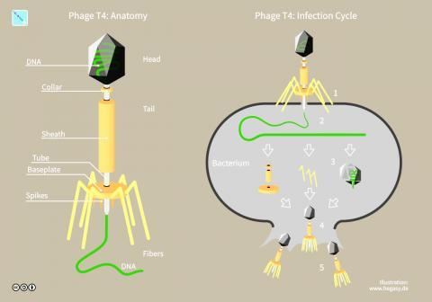 파지 T4의 구조와 감염 사이클(오른쪽) Credit: Wikimedia / Guido4