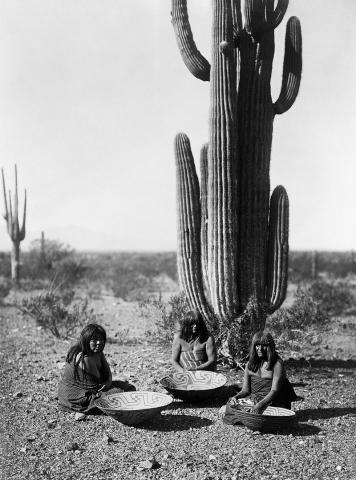 사와로 선인장의 열매를 따는 미국 원주민 여성. Ⓒ 위키피디아