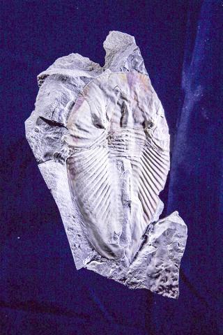 캄브리아기 시기의 대형 절지동물인 파이토필라스피스(Phytophilaspis)의 화석.  CREDIT: Andrey Zhuravlev, Lomonosov Moscow State University