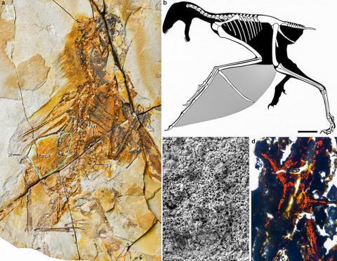 왼쪽 그림 a는 새로운 종류의 공룡인 암봅테릭스 화석. 그림 b는 복원한 모습으로 기준자는 10mm. 그림 c는 막 날개의 멜라닌 소체. 그림 d는 뼈 위(bony stomach)의 조직 분석. CREDIT: WANG Min