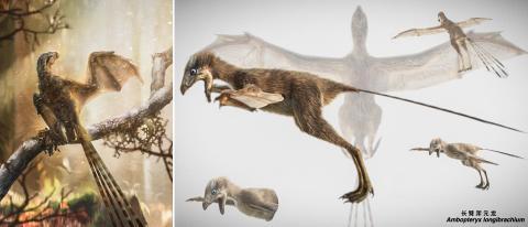 특이한 막 날개를 가진 암봅테릭스 롱기브라키움의 살아있는 모습 상상도.  CREDIT: Chung-Tat Cheung