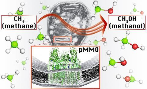 메탄영양체 박테리아에 있는 1차 대사효소인 미립자 메탄 일산소첨가효소(pMMO)가 한 개의 구리이온을 가진 사이트에서 메탄-메탄올 변환을 촉매하는 모습을 나타낸 그림.  CREDIT: Northwestern University