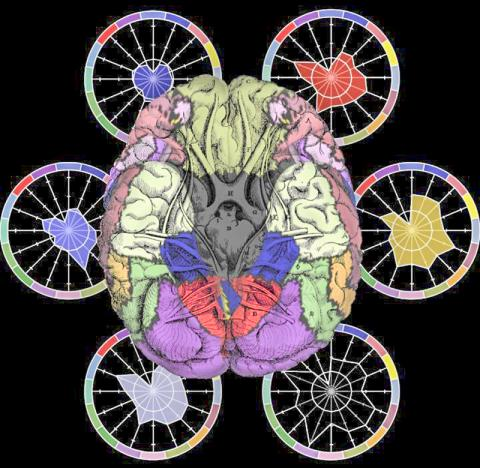 뇌의 이미징 연구는 뇌의 연결성이 서로 다른 정신질환 상태에서 어떻게 붕괴되는지를 보여준다. 그림은 이번 연구에서 조사된 서로 다른 환자그룹들을 바람개비 모양으로 나타냈다. 뇌는 그림의 색깔처럼 기능적으로 연결된 네트워크로 나눌 수 있다.  CREDIT: Justin T. Baker, MD, PhD