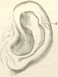 흔적기관인 사람 귀의 이각근 ⓒ 위키미디어