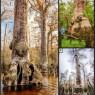 미국 노스캐롤라이나주 블랙 리버 늪지에 다수 서식하고 있는 미국낙우송. 최고 수령이 2624년인 것으로 밝혀지고 있는 가운데 나이테 연구를 통해 지난 2000여년의 나무와 기후변화 역사가 밝혀지고 있다. ⓒDavid W. Stahle
