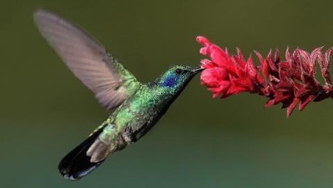 벌새만이 지닌 독특한 날개 구조는 수많은 비행로봇들의 모델이 되고 있다 ⓒ wikipedia