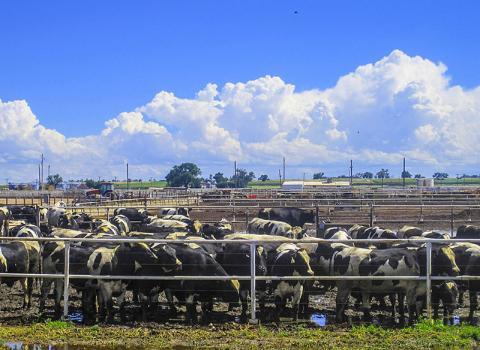 미국 콜로라도주의 목장 풍경. 소나 양 같이 되새김질을 하는 반추동물들의 위에 서식하는 미생물들은 엄청난 양의 메탄을 배출한다.  CREDIT: Wikimedia