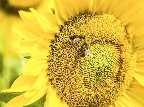 꿀벌의 뇌는 기호를 숫자와 연결할 수 있다는 연구가 나와 꿀벌도 개념을 파악할 줄 아는 것으로 확인됐다.  CREDIT: RMIT University