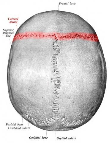 관상 봉합. ⓒ 위키백과