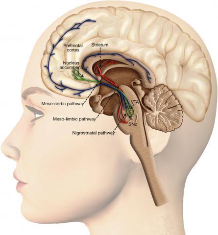 인간의 뇌 중 전전두엽(prefrontal cortex)은 대뇌 피질 중에서 논리적 판단, 추리력, 문제 해결 능력 등 고차원적 인지 능력을 수행한다.  ⓒ Wikimedia Commons