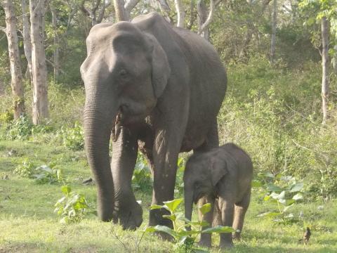 아시아 코끼리의 한 종인 '엘레파스 막시무스'. 인도 코끼리로 알려져 있는데 연구 결과 냄새 만으로 먹이의 양을 정확히 파악할 수 있는 수학적 능력을 지니고 있는 것으로 밝혀졌다. ⓒWikipedia