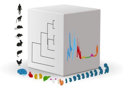 포유류의 장기 발달에 대한 유전자 활동을 조사한 연구를 포유류 종과 장기, 발달단계 세 가지 차원으로 표시한 그림. 종들의 진화적 관계는 입방체 왼쪽 면에 가지 형태로 표시했고, 각각 다른 장기 발달에서의 전형적인 유전자 발현은 입방체의 오른쪽 면에 나타냈다.  CREDIT: Kaessmann research group