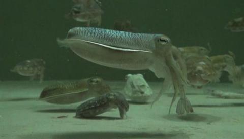 급감하고 있는 갑오징어의 양식 기술이 개발되어 주목을 끌고 있다 ⓒ 국립수산과학원