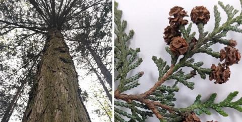 화백나무는 편백나무와 흡사한 모양을 갖고 있다 Ⓒ 산림과학원