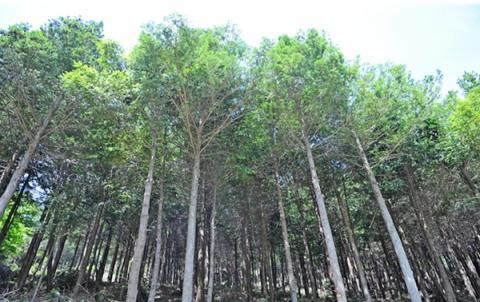 편백나무 보다 생육이 우수하고 이산화탄소 저감 효과까지 뛰어난 것으로 알려져 있는 '화백'