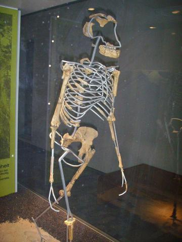 뼈를 가지고 재현한 루시의 모습 ⓒ 위키피디아