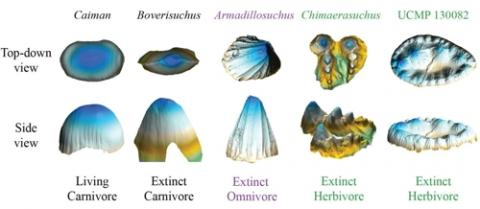 현대 악어와 멸종 고대악어 이빨의 3D 이미지 ⓒ 키건 멜스트롬