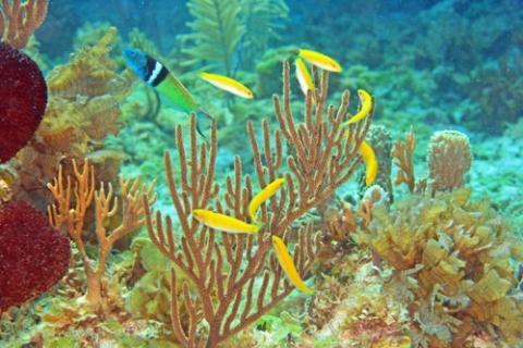 블루헤드 놀래기 수컷(왼쪽 상단)과 암컷(노란색) 무리  ⓒ 케빈 브라이언트