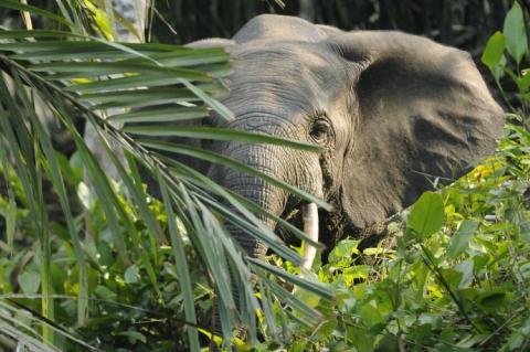 아프리카 열대우림에 살고 있는 둥근귀코끼리가 나무와 초목 생태계를 건강하게 해 이산화탄소 배출량을 7% 줄일 수 있다는 연구 결과가 발표됐다. 그러나 멸종위기에 처해 있어 대책이 시급한 상황이다. ⓒWikipedia