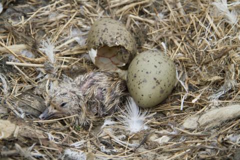 알에서 깨어나기 전 새의 배아가 어미의 위험경고 소리를 알아들을 수 있으며, 이를 둥지 내 다른 알에도 전파해 부화 이후 환경에 적응할 수 있게 한다는 연구결과가 나왔다.  ⓒ 게티이미지