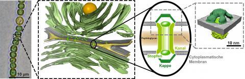 아나배나 세포(왼쪽)의 교차점들은 특수 통로를 가지고 있다. 이들의 구조(왼쪽에서 세 번째 그림)는 이번 연구에서 ETH 연구팀에 의해 처음으로 고해상도로 설명되었다.  Graphic: Gre¬gor Weiss / ETH Zurich
