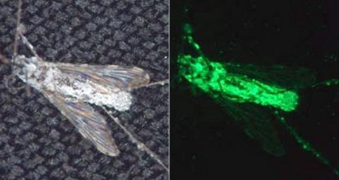 거미의 유전자를 이식한 곰팡이의 독성물질은 모기를 99% 퇴치하는 것으로 나타났다 ⓒ ScienceNews.org