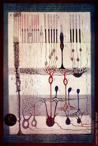 카할 '신경세포 그림'  Ⓒ public domain