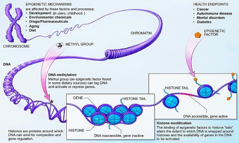 후성유전학(혹은 후생유전학) 메커니즘을 설명한 도해.  Credit: Wikimedia / NIH