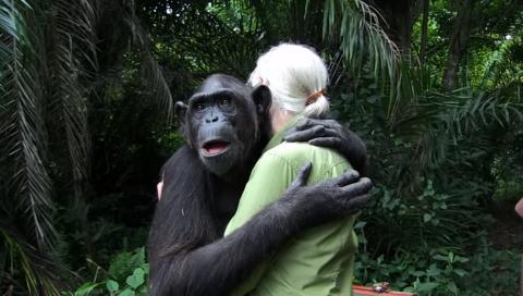 숲으로 돌아가기 전 제인 구달과 포옹하는 침팬지 운다. ⓒ 유뷰브 캡처