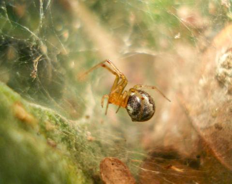 이번 연구 대상인 미국과 멕시코의 걸프만과 대서양 연안에 서식하는 아넬로시무스 스투디오수스 거미.  CREDIT: Thomas Jones