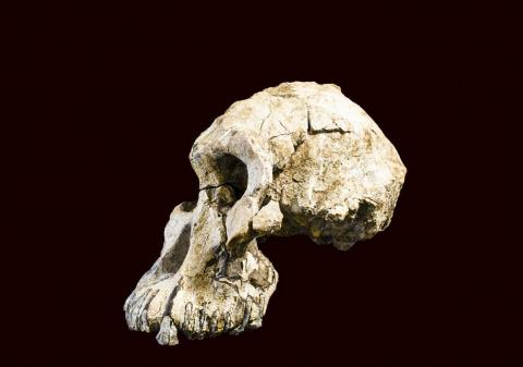 이번 연구의 대상인 놀라울 정도로 완벽한 모습의 380만년 된 A.아나멘시스 두개골.  © Dale Omori, Cleveland Museum of Natural History