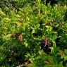 상동나무 추출물 암세포 생장 억제 탁월