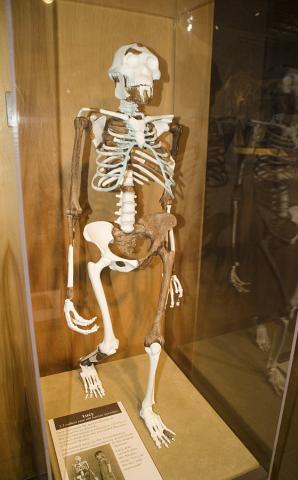 320만~330만년 된 A.아파렌시스 여성 고인류인 '루시'를 복원한 모습. 미국 클리블랜드 자연사박물관 소장. 두 발 보행을 한 첫 고인류로 확인돼 유명해졌다.  Credit: Wikimedia / Andrew from Cleveland, Ohio, USA