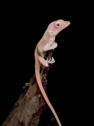 크리스퍼 유전자 가위 기술로 만들어낸 알비노 도마뱀 ⓒ 더그 멘케