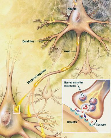 일반적인 뇌 활동에서 뉴런들은 축색돌기(axon)를 따라 이동하는 전기신호를 발생한다. 전기신호가 시냅스로 불리는 연결점에 도달하면 신경전달물질이 방출된다. 이 신경전달물질이 다른 세포의 수용체와 결합해 전기적 활동을 변화시킨다. 기억의 경우 해마의 뉴런 중심체에서 생성된 CPEB3가 축색돌기를 따라 이동해 시냅스에서 방출됨으로써 기억 생성과 유지를 돕는다.  Credit: Wikimedia / NIH / NIA