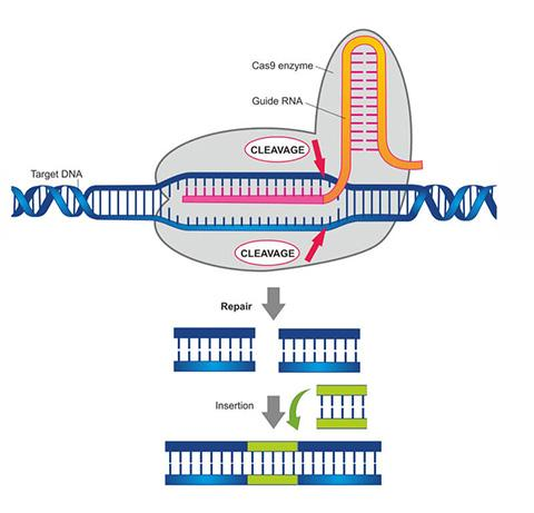 CRISPR-Cas9 유전자가위 © Soleil Nordic/Shutterstock
