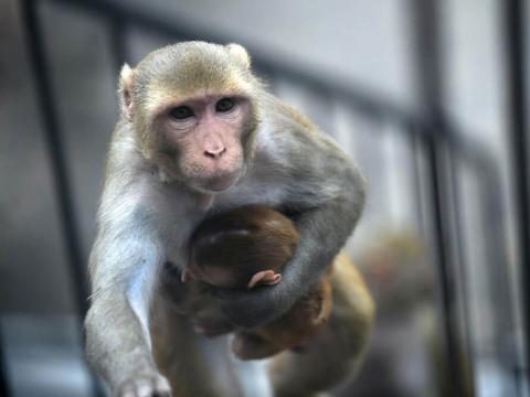 키메라 기술을 통해 사람의 유전자를 동물에 이식해 장기이식을 시도하려는 노력이 이어지고 있는 가운데 실효성 여부, 윤리적인 문제 등을 놓고 논란이 이어지고 있다. ⓒ geneticliteracyproject.org