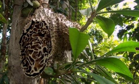 개미알집으로도 불리는 사랑스믓의 줄기는 벌통처럼 생겼다 Ⓒ Deherba.com