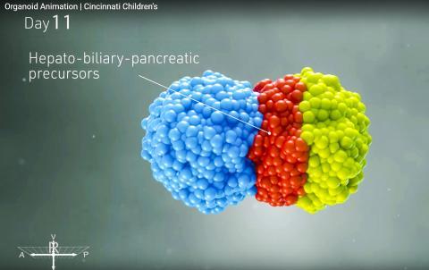 배아 발달 아주 초기에 형성된 각 구체의 세포가 서로 만나 변형되기 시작하는 모습. 동영상 캡처. CREDIT: Cincinnati Children's