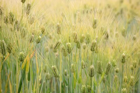 과학자들이 유전자편집 기술을 통해 가뭄에 견딜 수 있는 강력한 내한발성을 지닌 보리를 개발했다. 곡물 산업은 물론 곡물을 원료로 사용하는 주류산업 등 관련 분야에 큰 영향을 미칠 것으로 예상된다. ⓒWikipedia