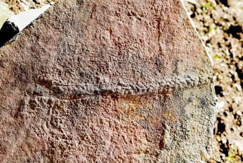 5억5000만년 전 노래기 같은 절지동물인 '일링기아 스피시포르미스'의 화석화된 흔적. 이 흔적은 미국 버지니아공대와 중국 난징 지질학 및 고고학연구소 팀에 의해 발견됐다.  CREDIT: Virginia Tech College of Science