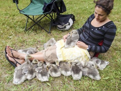 새끼 인도기러기들에게 엄마 노릇을 하는 제시카 메이어 박사.  CREDIT: Milsom Lab/UBC