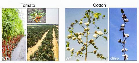 토마토의 가지가 자연적으로 말라 떨어지는 자연낙지(sp) 돌연변이(오른쪽)는, 고전 식물(왼쪽)이 지속적으로 불확실한(indeterminate) 포도나무 같이 성장하는데 비해 몸체가 작은 확실한(determinate) 성장 습관을 가지고 있다. 면화의 sp 돌연변이(Gbsp)는 '면화 씨가 든 꼬투리가 다발을 이룬(clustered boll)' 특성을 보이는 확실한 싹을 지니고 있다. 이 두 돌연변이체는 다중 작물 생산 적응으로 키가 더 작다.  CREDIT: Eshed, Lippman, T. Zhang